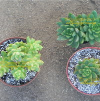 In this photo, with a side-by-side comparison, the difference in rosette sizes as well as in overall plant form, is made apparent.  On the left is 'Golden Glow' and on the right are 2 plants of 'Golden Goddess' (the greener plant on top was growing in less sun).  So, in the end, 'Golden Goddess' is NOT the same plant as 'Golden Glow'.