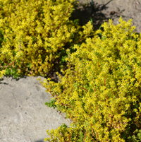 6.20.13 The sedum is in bloom around my stepping stones.