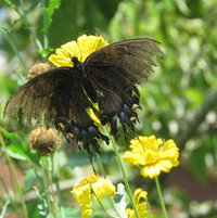 Tattered wings of Dark Eastern Swallowtail on False Sunflower ...