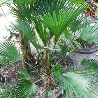 Trachycarpus wagnerianus... now THIS one would probably be a good Acton palm... move?