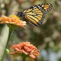 Monarch visit ~