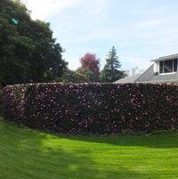 Camellia CurvedHedging