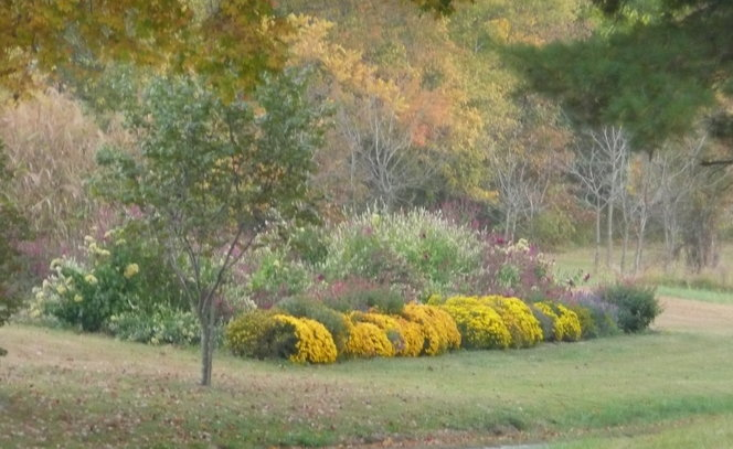 Mums are a must in my Hillside Garden facing the road.