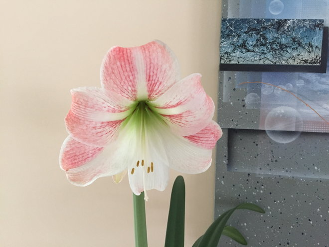 Amaryllis!  I always love these bloom, they brighten up my a wintery day.