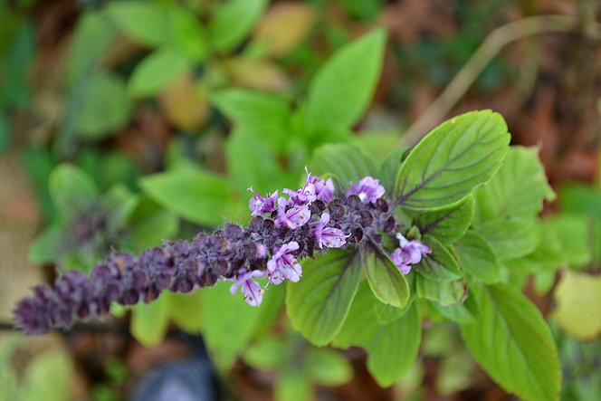 African purple basil