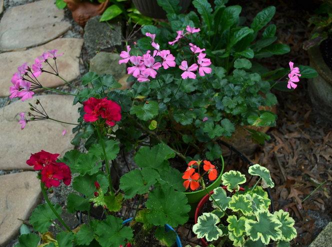 I heart geraniums