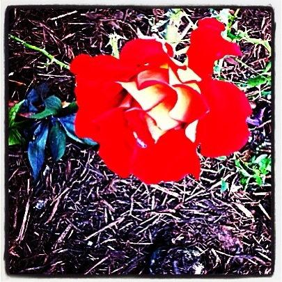 Ketchup & Mustard rose