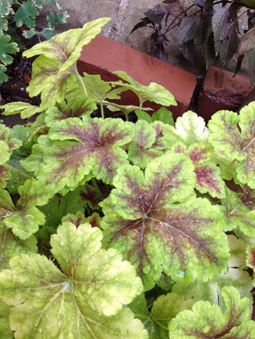 "Heucherella ""Alabama Sunrise"""