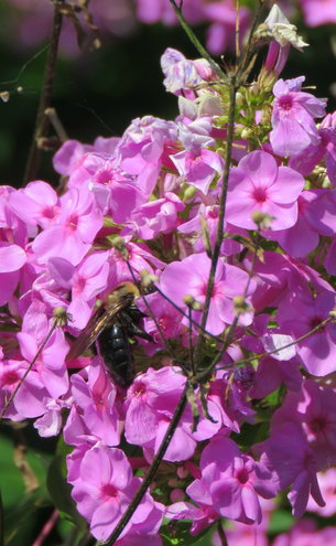 Just guessing thie is Phlox the bee is in ...