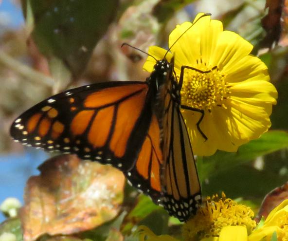 Monarch on False Sunflower ..