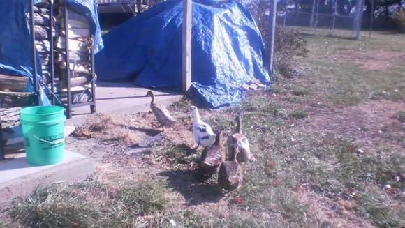 my ducks